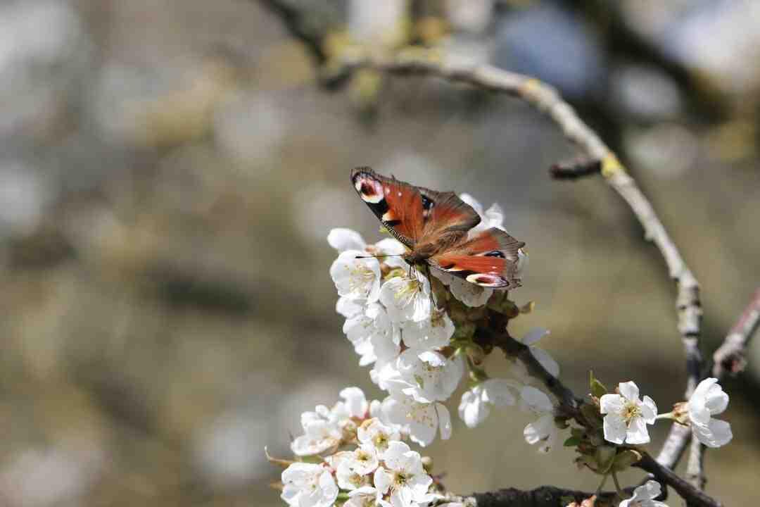 Comment la chenille devient papillon ?