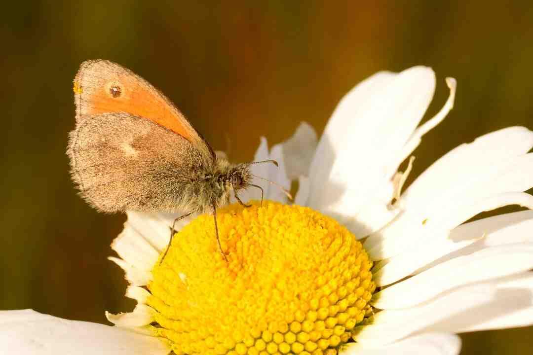 Est-ce que toutes les chenilles se transforme en papillon ?